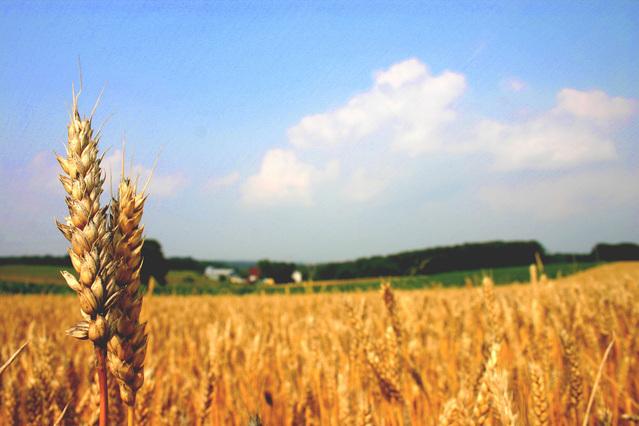 pole s vysázenou pšenicí